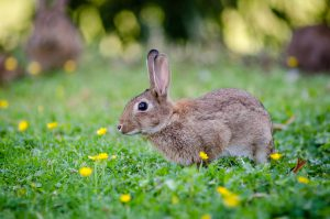 Plantskydd Rabbit Repellent Concentrate Review Goodbye Rabbits