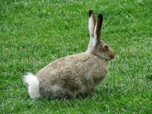 Rabbit Scram Repellent Review: The Best Rabbit Repellent Granules!