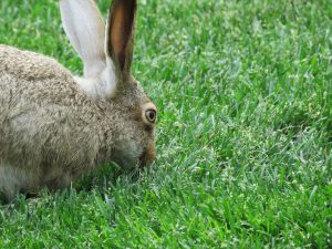 The 6 Best Natural Rabbit Repellent Products Use A Natural Rabbit Deterrent to Stop the Damage (2)