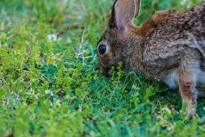 How to Get Rid of Rabbits in Your Garden: The Best Rabbit Repellent Gardens!